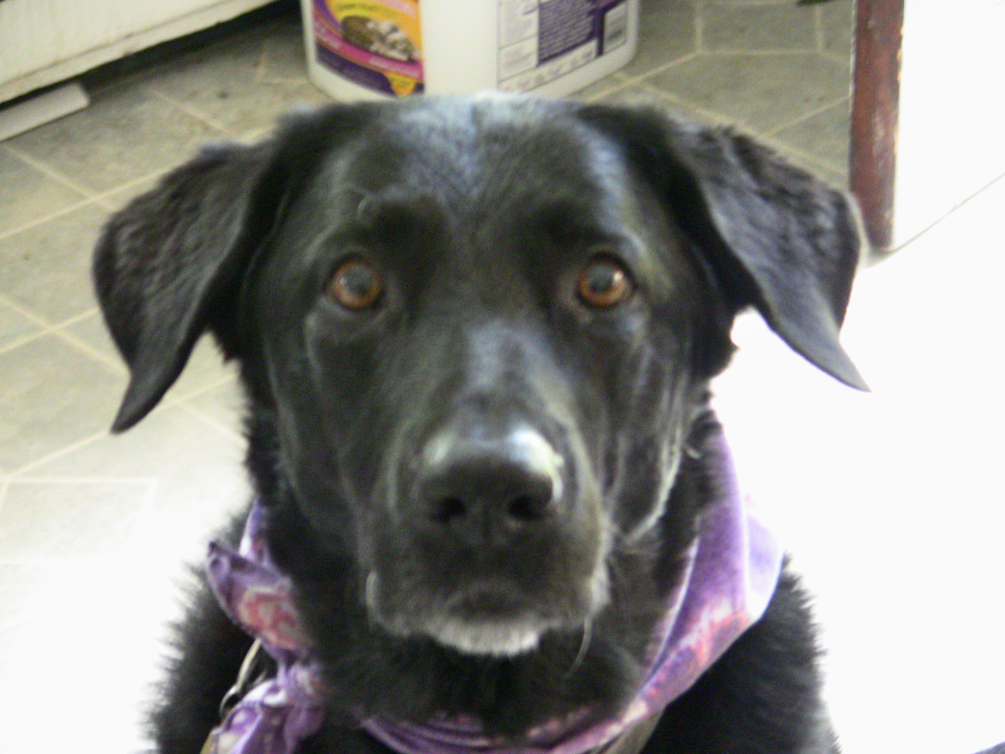 Akita And Golden Retriever Mix Httpkeawkhumtubacthakita | Dog Breeds ...