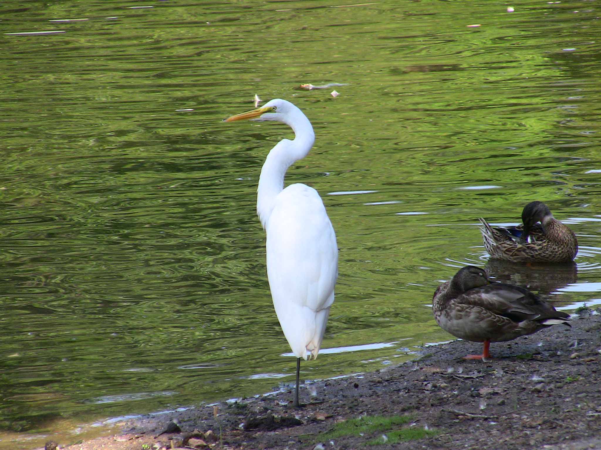 White crane bird - photo#10