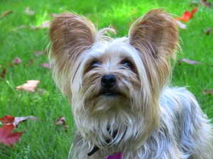 the yorkie wonders how much does it cost to own a dog tiffy s world