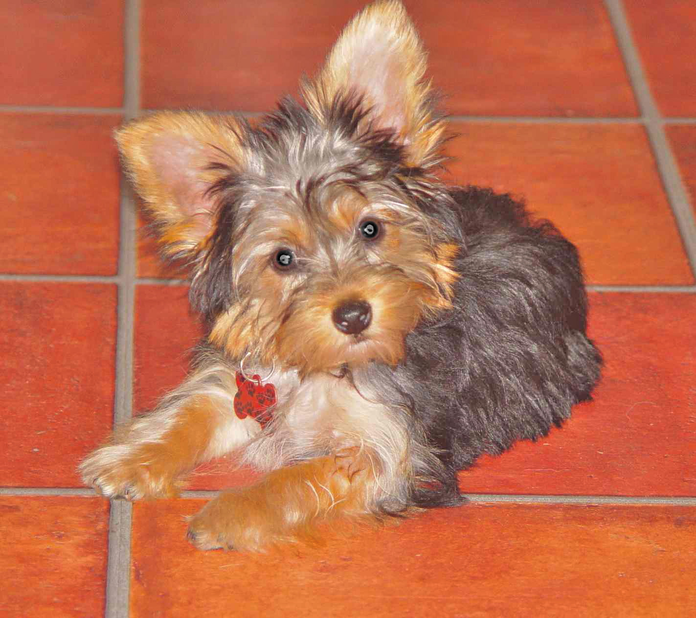 Yorkie Picture Of Adult Yorkie Haircut