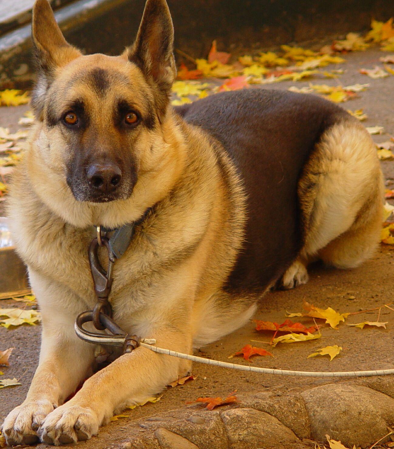 Biggest german shepherd dog in the world german shepherd dog may be