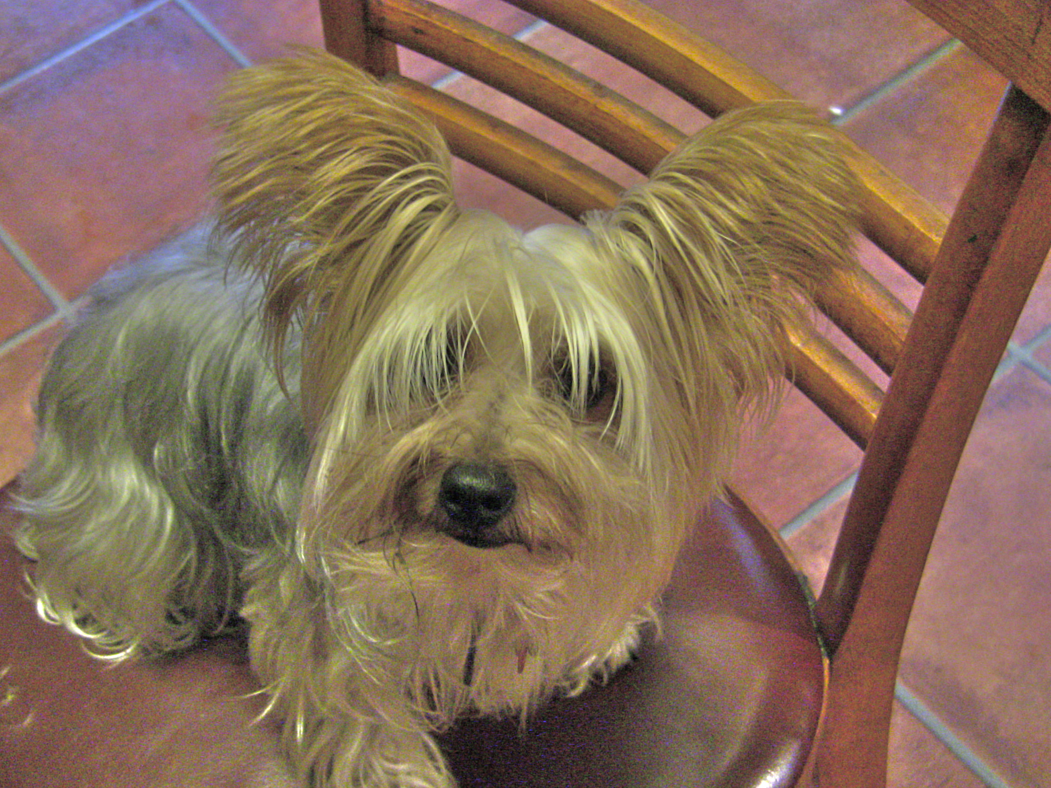 Yorkie Haircut Pictures http://tiffy40.wordpress.com/tag/yorkie-hairstyles/