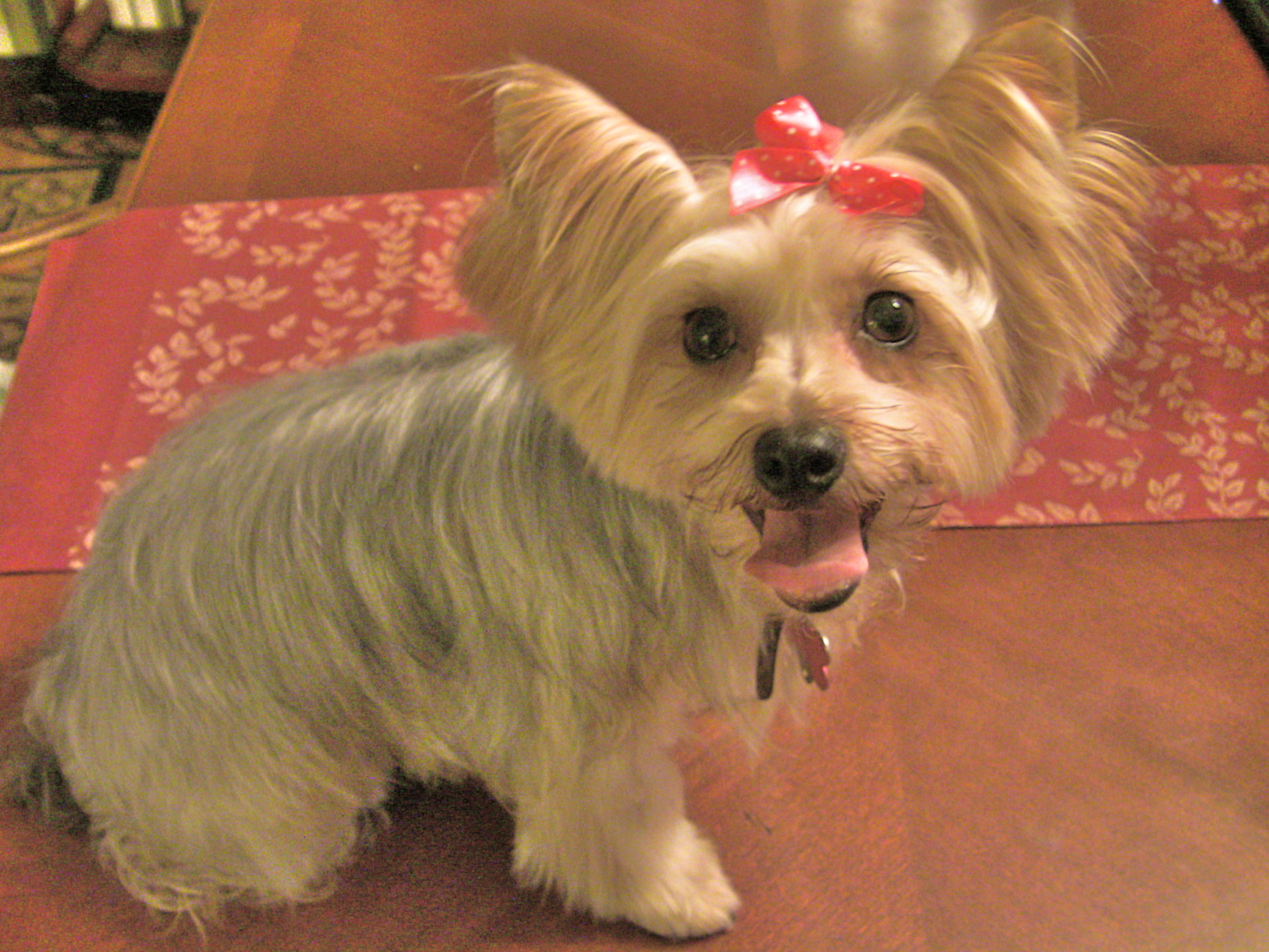 Yorkie Hair Styles: 301 Moved Permanently