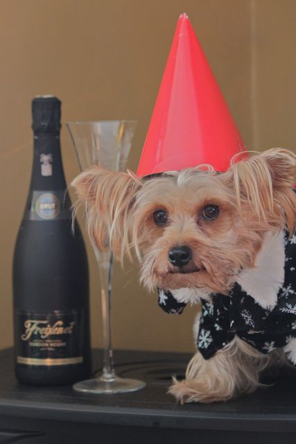 Image result for yorkie new year
